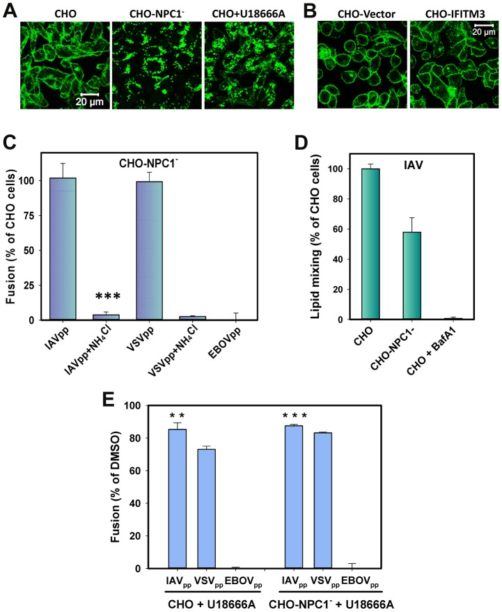 Cholesterol accumulation in endosomes of CHO cells does not inhibit viral fusion. (A) Filipin staining of untreated and U18666A-treated (40 µM) CHO cells and of CHO-NPC1 − cells devoid of NPC1. (B) Filipin staining of CHO-Vector and CHO-IFITM3 cells. Images in panels A and B show confocal sections through the middle of cells. (B) Confocal images of CHO-Vector and CHO-IFITM3 cells stained with filipin. (C) IAVpp (MOI = 2), VSVpp (MOI = 1) or EBOVpp (MOI = 2) were pre-bound to CHO or CHO-NPC1 − cells in the cold, incubated at 37°C for 90 min, and the resulting fusion activity was measured by the BlaM assay. Results are plotted as the relative extents of fusion CHO-NPC1 − cells after normalizing to fusion with CHO cells. Control experiments were carried out in 70 mM NH 4 Cl. Data are means and SEM from 3 triplicate experiments. (D) The frequency of lipid mixing in CHO (n = 576) and CHO-NPC1 − cells (n = 1241). Pre-treatment with 0.2 µM BafA1 for 30 min followed by initiation with imaging buffer containing BafA1and 70 mM NH 4 Cl inhibited the fusion activity: only 4 out of 1532 particles underwent lipid mixing. Error bars are standard deviations from at least 4 experiments. (E) Pretreatment of CHO cells with U18666A (40 µM, 8 h) modestly diminishes IAVpp or VSVpp fusion and abrogates EBOVpp fusion, as measured by the BlaM assay. Data are means and SEM from 2 triplicate experiments. ***, P