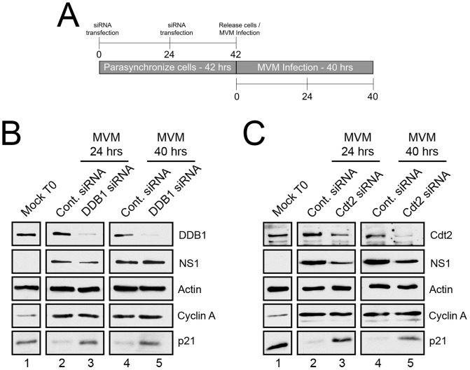 p21 degradation is mediated by the CRL4 Cdt2 ligase complex. A ) Schematic illustrating the experimental protocol for <t>siRNA</t> knockdown of ligase components in Figures 1B and 1C . B and C ) p21 degradation requires DDB1 (B) and Cdt2 (C) . Murine <t>A9</t> cells were targeted with control siRNA or siRNA to DDB1 (B) or Cdt2 (C) as depicted in Figure 1A . Uninfected control cells were harvested at the time of release (Mock T0). Infections were done at the time of release at an MOI of 10 before harvest at 24 and 40 hr pi. Western blots were performed using antibodies against the indicated proteins.