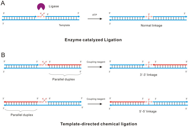 Ligation reactions catalyzed by different mechanisms. (A) Normal 5′-3′ ligation catalyzed by DNA ligase. At the presence of template, ATP and T4 DNA ligase, two oligonucleotides were ligated together and a 5′-3′ phosphodiester bonds was formed. (B) Template-directed chemical ligation of 3′-3′ and 5′-5′ oligonucleotides activated by the coupling reagent  N -Cyanoimidazole. Arrows in red represent the parallel oligonucleotide with template.