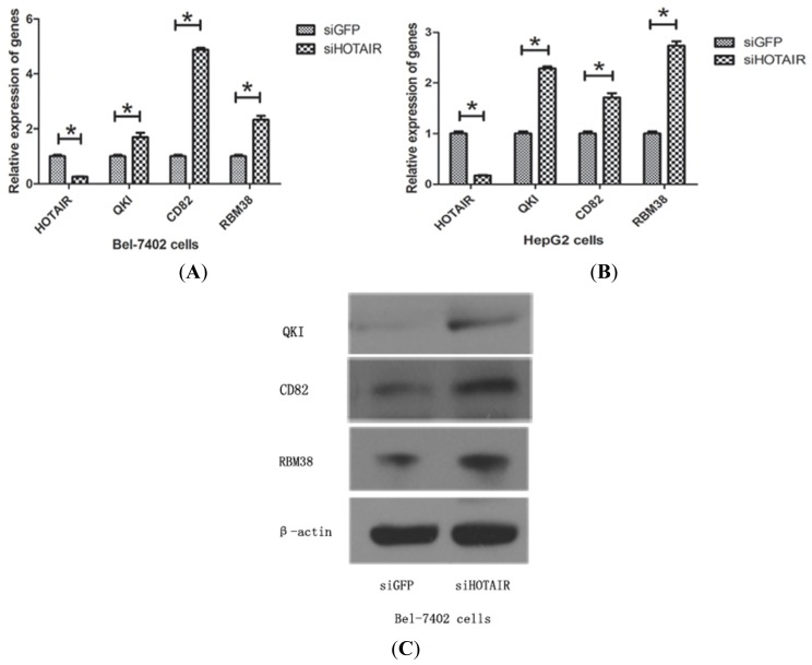Upregulation of QKI, CD82, and RBM38 were validated after knockdown of HOTAIR . ( A ) Bel-7402 cells; ( B ) HepG2 cells were transiently transfected with HOTAIR siRNA for 48 h to detect QKI, CD82, and RBM38 expression by qRT-PCR compared with the siGFP group ( * indicated p