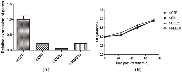 Effects of QKI, CD82, and RBM38 knockdown on cell proliferation. ( A ) effective silencing of QKI, CD82, and RBM38 expression in Bel-7402 cells after 48 h siRNA treatment according to qRT-PCR analysis; and ( B ) Viable cell numbers were detected by CCK-8 assay after transferred to 96-wells plates for 24, 48, and 72 h.