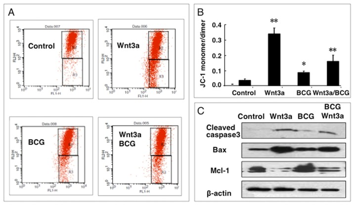 Impact of Wnt/β-catenin signaling on mitochondrial membrane potential (ΔΨm) of RAW264.7 cells. ( A ) Representatives of dot plot of flow cytometry analysis for ΔΨm of cells treated with indicated condition for 12 h; ( B ) fractions of cells with low ΔΨm treated with indicated conditions for 12 h; ( C ) Immunoblots of apoptosis-related proteins in RAW264.7 cells treated with indicated conditions for 24 h. Compared to a naïve control, * p