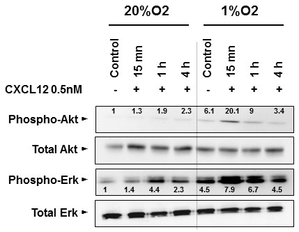 Activation of Akt and Erk oncogenic pathways by stimulation of CXCR4/CXCL12 axis in SW480 cell line. Effect of CXCL12 stimulation on Akt and Erk oncogenic pathways. SW480 cells were stimulated with CXCL12 at concentration of 0.5 nM. The cells cultivated either in normoxia or in hypoxia (1%O2) and previously starved for 4 h in a serum-free medium before adding CXCL12, were evaluated for protein kinase phosphorylation.