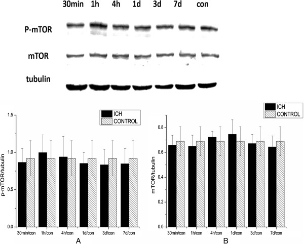 Mammalian target of rapamycin (mTOR) activation in the ipsilateral cortex after intracerebral hemorrhage (ICH). The levels of both (A) p-mTOR and (B) total mTOR did not show significant changes after ICH (after normalization to tubulin).