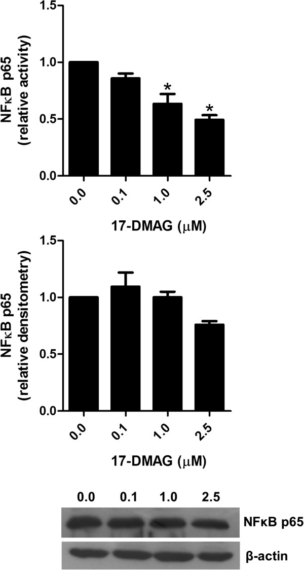 17-DMAG blunts NF κ B p65 activity. Analysis of NFκB p65 in PBMCs stimulated with 1 μg/ml plate-bound anti-CD3 antibody in absence and presence of different concentrations of 17-DMAG for 24 hours. NFκB p65 activity and protein expression was analyzed in lysates of these cell cultures by ELISA and immunoblotting, respectively. Protein concentration was expressed relative to the β-actin level using densitometry measurements. The results are presented as mean values ± SEM of n = 3 healthy blood donors. * P