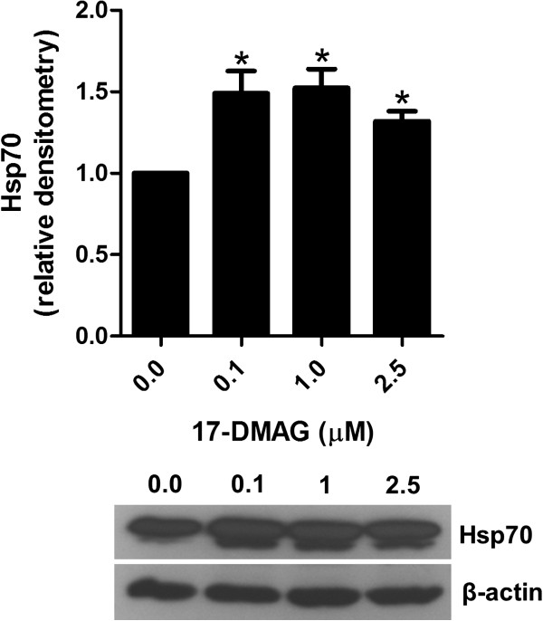 17-DMAG induces Hsp70 expression. Analysis of Hsp70 in PBMCs stimulated with 1 μg/ml plate-bound <t>anti-CD3</t> antibody in absence and presence of different concentrations of 17-DMAG for 24 hours. Hsp70 protein expression was analyzed in cell lysates of these cell cultures by immunoblotting. Protein concentration was expressed relative to the β-actin level using densitometry measurements. The results are presented as mean values ± SEM of n = 3 healthy blood donors. * P