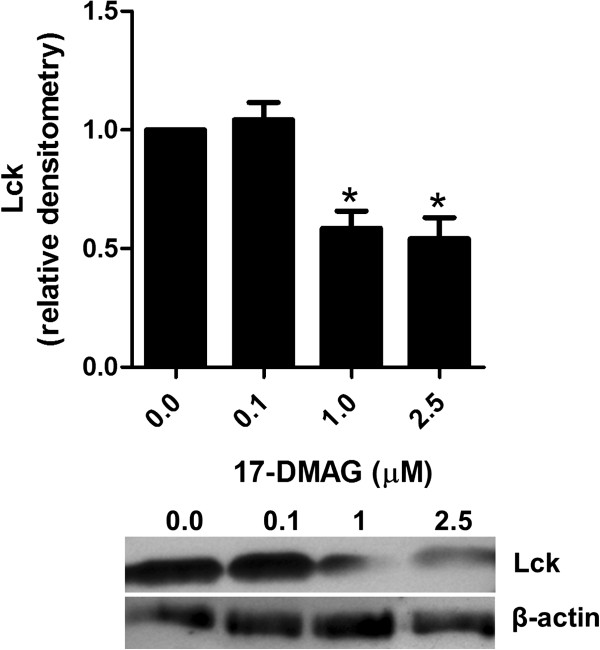 17-DMAG disrupts Lck activation. Analysis of Lck in PBMCs stimulated with 1 μg/ml plate-bound anti-CD3 antibody in absence and presence of different concentrations of 17-DMAG for 24 hours. Lck phosphorylation at Tyr 394 position was analyzed in lysates of these cell cultures by immunoblotting. Protein concentration was expressed relative to the β-actin level using densitometry measurements. The results are presented as mean values ± SEM of n = 3 healthy blood donors. * P