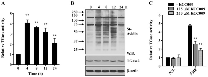 Treatment with β-ME activates TGase2 in HLE-B3 cells. (A and B) HLE-B3 cells were exposed to β-ME (7.5 mM) for the indicated times. Cells were incubated for 1 h with BP (1 mM), and intracellular TGase2 activity was determined by microtiter plate assay (A) and western blot analysis (B). Streptavidin-HRP (St-Avidin) was used to detect the BP incorporated into the proteins. ** p