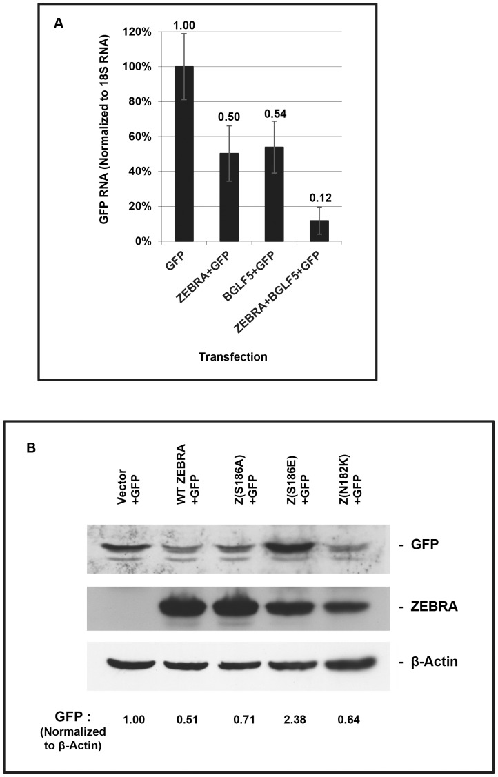ZEBRA and BGLF5 decrease levels of GFP mRNA and protein; one point mutant of ZEBRA does not inhibit GFP expression. (A) 293 cells were transfected with pHD1013, or vectors expressing GFP, ZEBRA, or FLAG-BGLF5. RNA extracts were prepared 45 h after transfection. Real-time RT-PCR analysis was performed using primers specific for GFP and 18S rRNA. Real time RT-PCR values for GFP were normalized to 18S rRNA values. Error bars were derived from variation in values obtained from technical replicates performed in triplicate. (B) 293 cells were co-transfected with GFP and vector, ZEBRA, Z(S186A), Z(S186E), or Z(N182K). Cell extracts were prepared 45 h after transfection and analyzed by SDS-page. Immunoblots were probed with antibody specific for GFP, ZEBRA, and β-actin. The levels of GFP were quantified by densitometry and normalized to levels of β-actin.