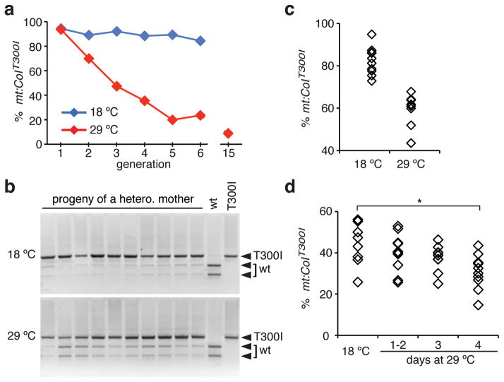 Germline selection against mt:CoI T300I at the restrictive temperature. ( a ) Frequency of mt:CoI T300I mutation in heteroplasmic flies maintained at 29°C or 18°C over generations. ( b ) XhoI digestion of PCR fragment spanning mt:CoI , amplified from single larvae produced by the same heteroplasmic mother at 18°C or 29°C. ( c ) Proportion of mutant mtDNA in 10 single larvae at 18°C or 29°C, calculated by quantifying band intensity in b . Average level of mutant mtDNA, 18°C, 83±5%; 29°C, 60±9%, n=10, P