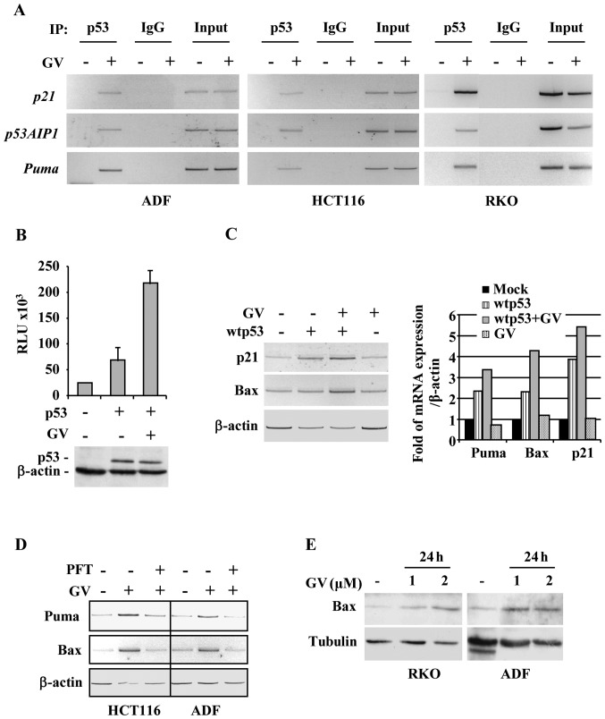 Gentian violet (GV) induces p53/DNA binding and transcriptional activity. (A) ADF, HCT116 and RKO cells (4×10 6 ) were plated in 150-mm dish and the day after treated with GV (1 μ M) for 16 h before assayed for chromatin immunoprecipitation (ChIP) analysis with anti-p53 (FL393) antibodies. PCR analyses were performed on the immunoprecipitated DNA samples using primers specific for wtp53 target gene promoters (p21, Puma, p53AIP1). A sample representing linear amplification of the total chromatin (Input) was included as control. Additional controls included immunoprecipitation performed with non-specific immunogloblulins (IgG). (B) H1299 cells were co-transfected with Noxa-luc (1 μ g) reporter and wtp53 (0.5 μ g/sample) expression vector. Twenty-four hours after transfection GV (1 μ M) was added for 24 h before luciferase activity was assayed. The shown data represent the mean ± SD from three independent experiments performed in duplicate. Relative luciferase unit. (C, left panel) Semi-quantitative RT-PCR analyses of p53 target genes in H1299 cells transfected and treated with GV as in (B). β-actin was used as internal control. (C, right panel) Gene expression was measured by densitometric analyses and plotted as fold of mRNA expression over control (Mock), normalized to β-actin levels, ± SD. (D) HCT116 and ADF cells were plated at subconfluence in 60-mm Petri dish and the day after treated with GV (1 μ M) in the presence or absence of pifithryin-α (PFT-α) (30 μ M), for 24 h. P53 target gene expression was detected by RT-PCR analyses. β-actin was used as internal control. (E) RKO and ADF cells were treated with GV (1 and 2 μ M) for 24 h. Western immuno blotting was performed on equal amount of total cell extracts to detect Bax levels. Anti-β-actin was used as protein loading control.