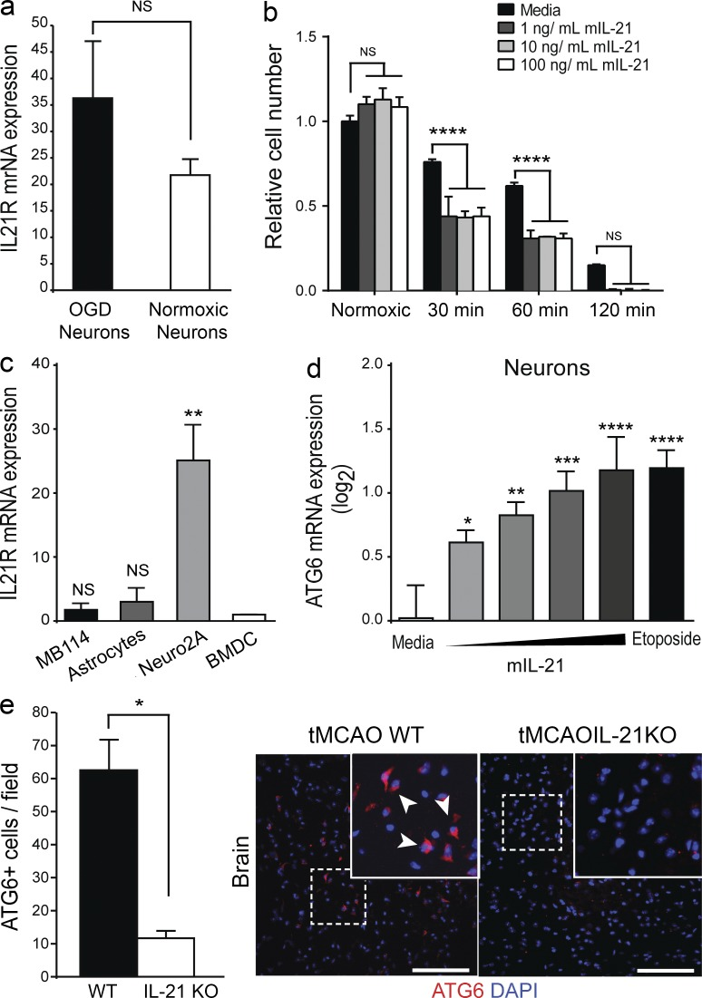 IL-21 promotes autophagy expression in neuronal cells after hypoxia/ischemia. (a) Il21r mRNA expression relative to GAPDH expression levels is shown in normoxic and hypoxic primary mouse neurons after OGD or control treatment. (b) Viability of Neuro2A cells treated with the indicated doses of IL-21 after OGD. (c) Il21r mRNA expression relative to GAPDH in neuronal (Neura2A), astrocytic, and endothelial cell lines (MB114) expressed relative to BMDC expression. (d) ATG6 expression in primary neurons treated with PBS, etoposide, or 32–256 ng/ml rIL-21 for 4 h after 1–2 h oxygen glucose deprivation as measured by RT-PCR. Cells treated in triplicate. (e) Number of ATG6 + cells per field in the same regions of WT and IL-21 KO mouse brains after tMCAO as assessed by immune staining ( n = 3 mice per group). Arrows indicate ATG-6 + cells in periinfarcted brain tissue of WT and IL-21 KO mice. Bars, 100 µm. Data are representative of two independent experiments. *, P