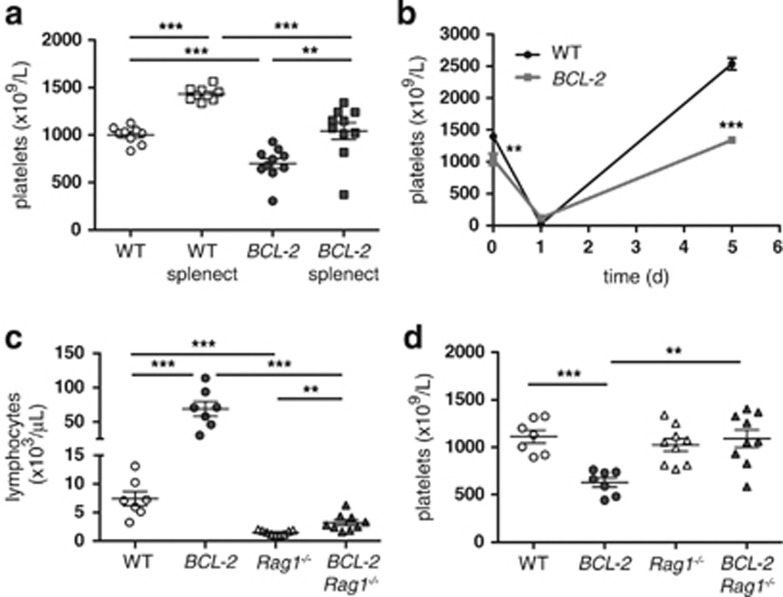 Thrombocytopaenia in BCL-2tg mice is provoked by the external milieu. ( a ) Blood platelets increase following splenectomy in WT and BCL-2 tg mice. Platelet counts were determined before and 4 weeks after surgery on 8-week-old female mice ( n =9–10). ( b ) Recovery from anti-platelet serum (APS)-induced thrombocytopaenia is impaired in splenectomised BCL-2 tg mice. Mice from a were injected with APS 5 weeks after splenectomy and platelet counts determined on d0 ( n =9–10), d1 ( n =5) and d5 ( n =4–5). ( c ) Lymphocyte counts in BCL-2 tg mice are significantly reduced on a Rag1 − / − background, to around WT numbers. BCL-2 tg mice were crossed to Rag1 −/− mice and blood counts determined in offspring of the indicated genotypes ( n =7–9). ( d ) Platelet counts are normal in BCL-2 tg mice that lack mature lymphocytes. Data represent mean±S.E.M.; ** P
