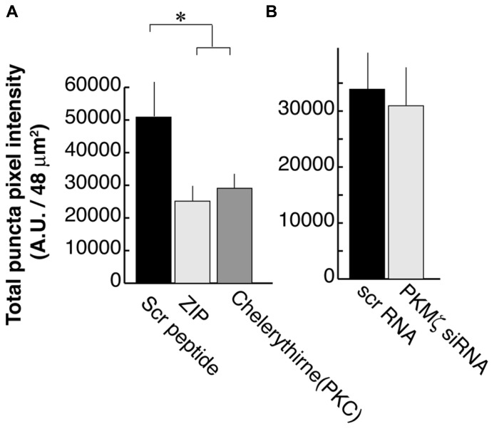Zeta inhibitory peptide (ZIP) but not PKMζ knockdown causes suppression in PSD-95 puncta intensity. (A) Neurons are treated with ZIP (1 μM), PKC (Chelerythrine, 2.5 μM), or the scrambled ZIP peptide (1 μM). (B) Neurons are transfected with DNA constructs encoding siRNA for PKMϖ or the scrambled sequence. In both experiments, 16 branches from eight cells were analyzed. Error bars represent SEM.