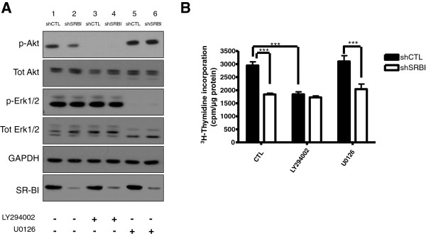 Inhibition of PI3K, not MEK1/2, prevents proliferation of MDA-MB-231 cells. (A) LY294002 and U0126 effectively inhibit Akt and Erk1/2 activation in MDA-MB-231 cells. Serum-starved shCTL and shSRBI MDA-MB-231 cells were incubated with or without the inhibitors LY294002 (15 μ M ) or U0126 (10 μ M ) for 2 hours. Medium containing 10% FBS was added for 30 minutes, cells were lysed, and whole-cell lysates were analyzed by Western blot for the indicated proteins. GAPDH was used as a loading control. (B) PI3K inhibition reduces cellular proliferation of shCTL MDA-MB-231 cells. shCTL and shSRBI MDA-MB-231 cells were incubated with culture media containing either LY294002 (15 μ M ) or U0126 (10 μ M ) and 3 H-thymidine for 6 hours, at which time, the assay was stopped, and lysates were collected. Columns represent the mean [ 3 H]thymidine incorporation (cpm/μg protein); bars represent ± SD. Results obtained from vehicle-treated (CTL) shCTL MDA-MB-231 cells are significantly different from those obtained with shSRBI MDA-MB-231 cells (** P