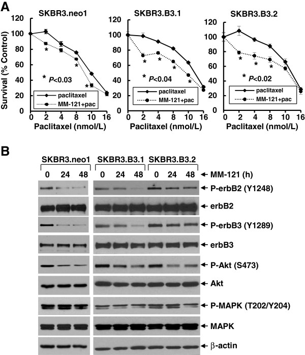 MM-121 significantly enhances paclitaxel-mediated anti-proliferative/anti-survival effects on breast cancer cell lines with expression of both erbB2 and erbB3. (A) SKBR3.neo1, SKBR3.B3.1, or SKBR3.B3.2 cells were plated onto 96-well plates and incubated at 37°C with 5% CO 2 . After 24 h, the culture medium was replaced with 0.1 ml fresh medium containing 0.5% FBS or the same medium containing the indicated concentrations of paclitaxel in the absence (paclitaxel) or presence (MM-121 + pac) of MM-121 (10 μg/ml) for another 72 h. The percentages of surviving cells from each cell line relative to controls, defined as 100% survival, were determined by reduction of 3-(4,5-dimethylthiazol-2-yl)-5-(3-carboxymethoxyphenyl)-2-(4-sulfophenyl)-2H-tetrazolium, inner salt (MTS). Bars represent SD. Data are representative of three independent experiments. (B) The same cells were untreated or treated with MM-121 (10 μg/ml) for 24 or 48 h. Cells were collected and subjected to western blot analyses of phosphorylated (P)-erbB2, erbB2, P-erbB3, erbB3, P-Akt, Akt, P-mitogen-activated protein kinase (P-MAPK), MAPK, or β-actin.