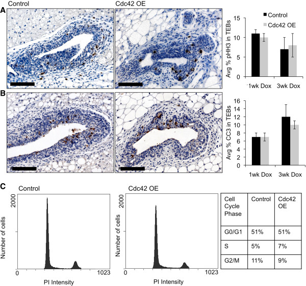 MEC proliferation and survival rates are not altered in Cdc42-overexpressing mammary glands. (A) Representative images of pHH3 immunostaining on tissue sections from line 4 and control mammary glands treated for 1 week with dox. Scale bar = 50 μm. Graph shows average percentage of pHH3-positive cells ± SEM in TEBs after 1 week and 3 weeks of dox treatment (n = 3,3;3,4, P = 0.43;0.77). (B) Representative images of CC3 immunostaining on tissue sections from line 4 and control mammary glands treated for 1 week with dox. Scale bar = 50 μm. Graph depicts average percentage of CC3-positive cells ± SEM in TEBs after 1 week and 3 weeks of dox treatment in vivo (n = 5,5;3,4 P = 0.53;0.59). (C) Histograms represent flow cytometry analysis of isolated primary control and Cdc42-OE MECs stained with propidium iodide (PI) after 1 week of dox treatment in vivo. Table shows the percentage of cells in each phase of the cell cycle out of total live cells (≥67,000 events) demonstrating that control and Cdc42 OE MECs have similar cell cycle profiles. Data are representative of two independent experiments (n = 5 mice per genotype). CC3, cleaved caspase-3; Cdc42, cell division cycle 42; MEC, mammary epithelial cell; OE, overexpressing; pHH3, phosphorylated <t>histone-H3;</t> TEB, terminal end bud.