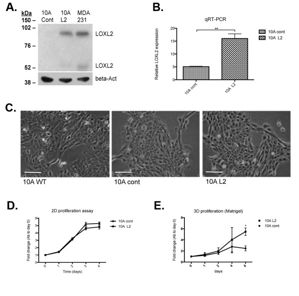 Manipulation of LOXL2 expression levels in human MCF10A normal mammary epithelial cells . (A) Western blot of secreted LOXL2 in CM generated from MDA MB-231 cells (MDA 231), MCF10A cells infected with LOXL2 (10A L2) and vector alone (10A cont) revealed that LOXL2 protein expression was upregulated in the 10A L2 cells to a level similar to that detected in MDA cells. β-Actin was used as a loading control. (B) Quantitative real-time PCR (qRT-PCR) of LOXL2 mRNA levels in manipulated MCF10A cells showed that LOXL2 mRNA levels were upregulated in 10A L2 cells. P = 0.009. (C) Morphologies of the manipulated MCF10A cells compared with WT cells showed that upregulation of LOXL2 did not produce significant alterations on cells plated on 2D tissue-culture plastic. Cells were viewed under a microscope (Leica DM1L), and representative images were taken. (D) 2D MTS proliferation assay of manipulated MCF10A cells suggested that when cultured on plastic, LOXL2 expression did not alter proliferation of the 10A cells. Error bars represent SEM for three independent experiments. (E) 3D MTS proliferation assay of manipulated MCF10A cells with manipulated LOXL2 expression plated within Matrigel suspension suggested that increased LOXL2 expression increases proliferation of the 10A cells in 3D. Error bars represent SEM for three independent experiments. P = 0.034 for day 6.
