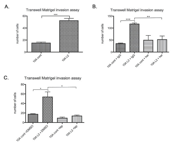 LOXL2 promotes invasion of normal breast epithelial cells; this effect is abrogated with ErbB2 inhibition . (A) The 10A L2 cells exhibited increased invasion through Matrigel compared with 10A cont cells in Transwell invasion assays. (B) Herceptin treatment reduced the invasive ability of the 10A L2 cells to a level comparable to 10A cont cells. Human IgG treatment had no effect on the invasiveness of the manipulated 10A cells. (C) Lapatinib treatment of the 10A L2 cells greatly reduced the invasiveness of the cells to a level comparable to the 10A cont cells. DMSO treatment had no effect on the invasive properties of the manipulated 10A cells.
