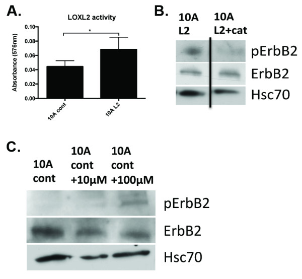 LOXL2 expression induces ErbB2 activation through production of 2 O 2 . (A)Production of H 2 O 2 on Matrigel was measured as an activity read-out in the 10A cont and 10A L2 cells, by using a commercially available kit and following the manufacturer's instructions (Abcam). 10A L2 cells produced higher levels of H 2 O 2 , as expected, because of LOXL2 overexpression. (B) The 200 U/ml catalase (+cat) was added to remove H 2 O 2 produced by LOXL2. Western blotting revealed that pErbB2 was decreased in 10A L2 cells treated with catalase (L2+cat) in comparison with untreated cells (L2). (C) Addition of H 2 O 2 to 10A cont cells strongly induced ErbB2 activation. Taken together, these results indicate that, by removing H 2 O 2 , we can significantly abrogate ErbB2 activation in 10A L2 cells, and addition of H 2 O 2 activated ErbB2.
