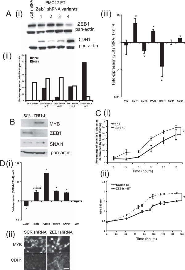 ZEB1sh-ET cells are more epithelial, express higher MYB, and are more proliferative than SCRsh-ET controls. (A) (i) Western blotting for ZEB1 and CDH1 in PMC42-ET cells transfected with shRNA variants 1 to 4; (ii) bar graph of band intensity of the Western blot shown in (i) . (iii) Expression (MT-PCR) of EMT-related genes, ZEB1sh-ET relative to SCRsh-ET; fold expression shown. Data shown are the average of four independent biologic replicates; Student paired t test was used to determine significance (*), set at P