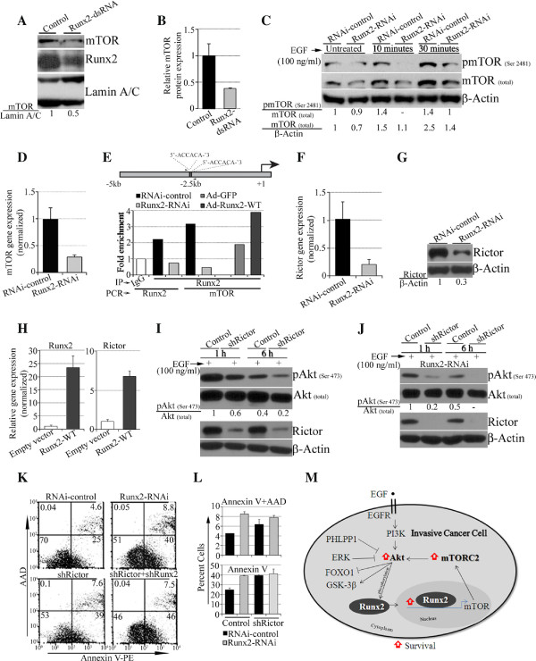 Runx2 knockdown alters expression levels of mTORC-2 proteins. A) The MDA-MB-231 cells' transient Runx2 suppression was analyzed for mTOR and Runx2 levels. B) A quantification of mTOR protein expression normalized to β-Actin is shown. C) The stable Runx2 knockdown MDA-MB-231 cells were serum-deprived, epidermal growth factor (EGF) stimulated and examined for pmTOR (Serine 2481) and mTOR (total) protein. D) The Runx2 knockdown cells were assayed for mTOR gene expression by RT-PCR (normalized to GAPDH ). E) The Runx2 knockdown and Ad-GFP- or WT-Runx2-treated MDA-MB-231 cells were tested for Runx2 recruitment on mTOR promoter by ChIP assays. A schematic diagram of the mTOR promoter region is bars indicating potential Runx binding sites (black bars) and location of PCR primers (small arrows). F) and G) The mRNA (F) and protein (G) expression levels of Rictor were analyzed in control or Runx2 knockdown MDA-MB-231 cells by RT-PCR and Western blotting, respectively. H) The MDA-MB-231 cells stably over-expressing WT-Runx2 were assayed for Runx2 and Rictor gene expression by RT-PCR. I) The MDA-MB-231 cells with stable Rictor knockdown were stimulated with EGF and were analyzed for the expression of pAkt (Serine 473), Akt (total) and Rictor protein levels by Western blotting. J) The stably Runx2 knockdown MDA-MB-231 cells together with Rictor suppression were stimulated with EGF and analyzed for the expression of pAkt (Serine 473), Akt (total) and Rictor proteins by Western blotting. K) The glucose and serum-deprived (24 h) MDA-MB-231 cells with Runx2 knockdown (Runx2-RNAi) together with Rictor knockdown (Rictor -shRNA) were stained for Annexin V and AAD by flow cytometry. L) A quantification of positive cells with or without Rictor knockdown is shown. M) A schematic diagram depicting the function of Runx2 in regulating Akt via mTORC2 complex and its effect on survival of invasive cancer cells.