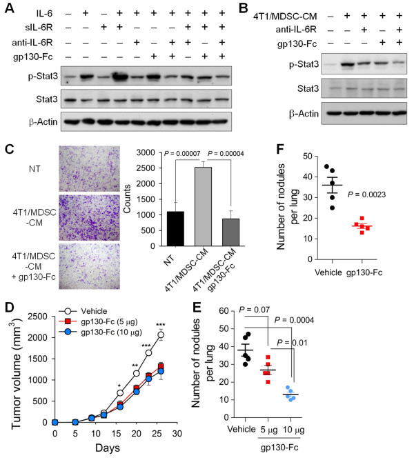 Activated MDSCs contributed to tumor invasiveness through IL-6 trans-signaling . (A-B) 4T1 cells were treated with recombinant IL-6 plus soluble IL-6Rα (A) or 4T1/MDSC-CM (B) for 30 minutes in the presence of anti-IL-6R blocking antibody or gp130-Fc. (C) 4T1 cells were allowed to invade through Matrigel for 18 hours in the presence or absence of 4T1/MDSC-CM and/or gp130-Fc (crystal violet). (D-E) 4T1 cells were injected into the mammary fat pads. Some mice underwent continuous administration using osmotic mini-pumps (5 or 10 μg for 14 days). (D) Primary tumor growth and (E) numbers of metastatic masses in the lungs at 26 days. (F) 4T1 cells were injected intravenously into BALB/c mice ( n = 5 mice per group). Some mice received gp130-Fc (2.5 μg) 4 days after cancer cell injection. Numbers of metastatic masses in the lungs at day 12 were determined. Values are the means ± SEM of each group. * P