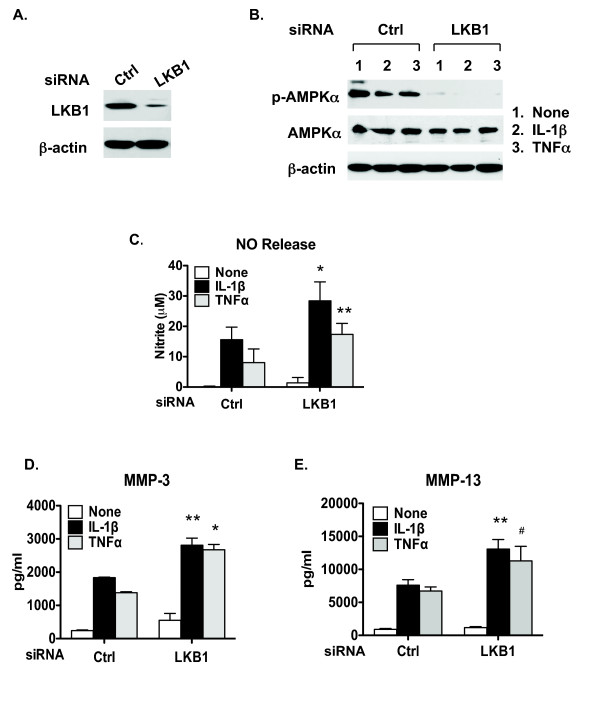 Knockdown of LKB1 in articular chondrocytes attenuates AMPK activity and promotes matrix catabolic responses . Human primary normal knee articular chondrocytes were transfected with liver kinase B1 (LKB1) and control siRNA. Two days after transfection, cells were either (A) used directly for western blot analysis of LKB1 expression or (B) treated with IL-1β (10 ng/ml) and TNFα (10 ng/ml) for 18 hours followed by western blot analysis for phosphorylation of AMP-activated protein kinase alpha (AMPKα) and total AMPKα. (C) Nitric oxide (NO) release, (D) matrix metalloproteinase (MMP)-3 release and (E) MMP-13 release were then analyzed from the conditioned media by Griess reaction and ELISA, respectively. Data representative of three individual experiments. * P