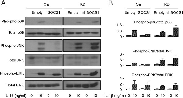 Effects of SOCS1 on <t>MAP</t> kinase signaling. SW1353 cells were transfected with SOCS1 or shSOCS1 vectors to overexpress or inhibit SOCS1, as described in Methods. A representative immunoblot image showed that SOCS1 overexpression decreased phosphorylation of <t>p38</t> and JNK, whereas SOCS1 knockdown increased their phosphorylation in the presence of IL-1β (10 ng/ml, A) . The relative proportions of phosphorylated to total protein were determined with densitometry by using Image J software (version 1.48c, [ 22 ]; B) . Data were expressed as the means ± SEM ( n = 3). OE, overexpression; KD, knockdown.