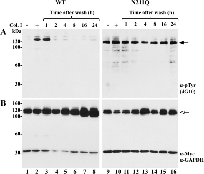 "Sustained activation of N211Q DDR1b. COS1 cells expressing WT or N211Q DDR1b were serum-starved (18 h) before stimulation (2 h) with (+) 10 μg/ml rat tail collagen I ( Col. I ) or vehicle control (−), as described under ""Experimental Procedures."" After stimulation, the media were aspirated, and the cells were washed thoroughly with warm PBS. The dishes were then supplemented with serum-free media and incubated at 37 °C for the indicated times. The cells were lysed with RIPA buffer, and the lysates were analyzed for receptor activation ( A ) and total receptor expression ( B ), as described in Fig. 2 . Black arrow in A indicates phosphorylated DDR1b, and white arrow in B indicates total DDR1b. Anti-Tyr(P) (α- pTyr )."