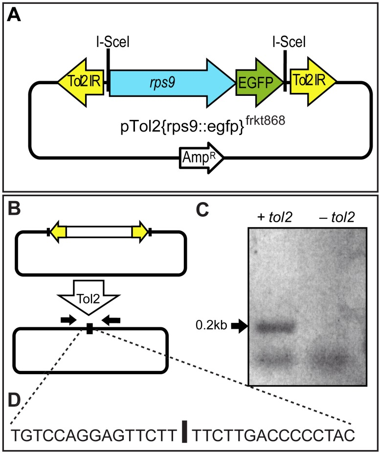 Excision of a microinjected Tol2-based construct. ( A ) Scheme of donor vector pTol2{rps9::egfp} frkt868 ; the rps::egfp cassette is flanked by inverted Tol2 repeats (Tol2IR) that serve as recognition site for Tol2 transposase co-injected as mRNA along with the vector DNA. ( B, C ) PCR using vector-specific primers (black arrows) yields a 200 bp PCR fragment specifically from embryos co-injected with tol2 transposase mRNA (left lane), but not from controls (right lane). ( D ) Precise cleavage of the reporter construct at the end of the Tol2 IRs is evidenced by sequencing of the 200 bp fragment.