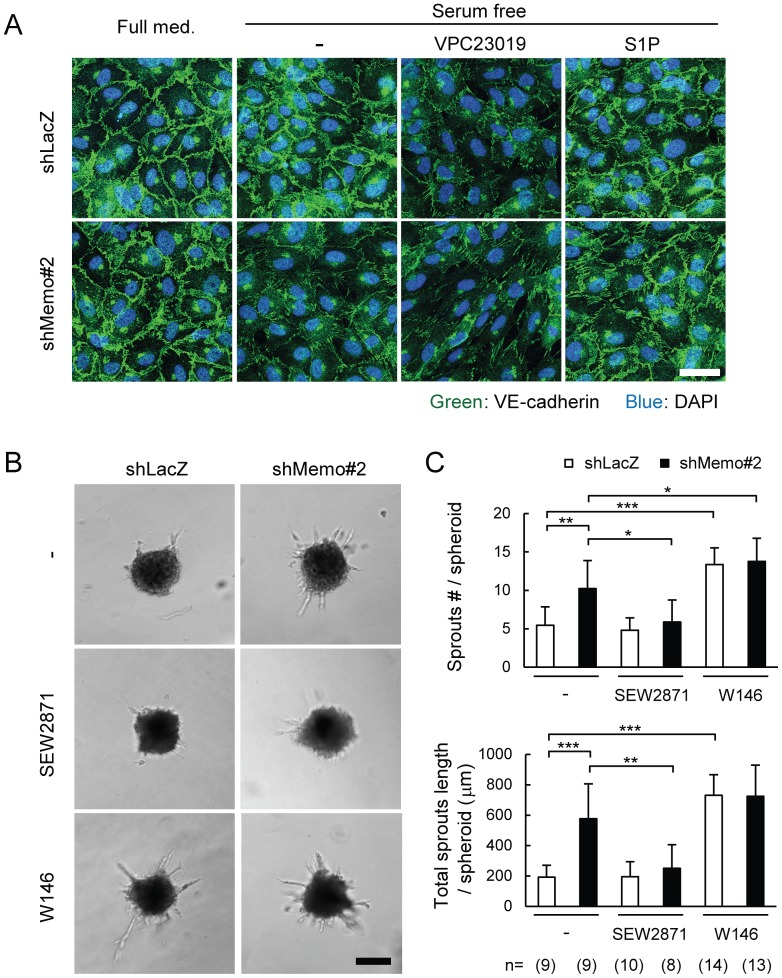 Defects in stabilization of VE-cadherin-mediated cellular junctions in Memo knock-down endothelial cells. A , Effects of S1P or S1P receptor blocker on junctional localization of VE-cadherin in control and Memo KD HUVECs. Monolayers of HUVECs were cultured for 6 h in full media or serum-free media with or without VPC23019 (1 μM) or S1P (1 μM), then fixed and stained for VE-cadherin. Scale bar, 40 μm. B–C , Sprout formation from multicellular spheroids generated from control and Memo KD HUVECs. Sprouting was compared in the absence and presence of the S1PR1-specific agonist, SEW2871 (100 nM) or the S1PR1-specific antagonist, W146 (10 μM). Representative images (B) and quantified results (C) are shown. The numbers of multicellular spheroids used for each condition are indicated at the bottom of (C). Scale bar in (B), 100 μm. Data in (C) are presented as means ± S.D. of the scores for each multicellular spheroid. *, p