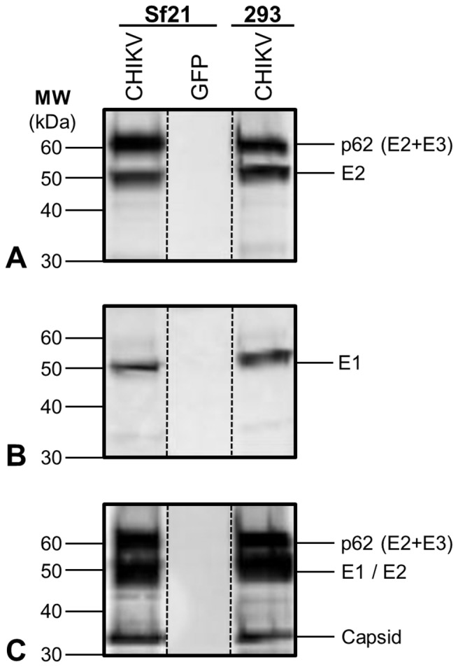 CHIKV structural polyprotein expression and processing in AcMNPV-CHIKV37997 infected Sf 21 cells and pV1JNS-CHIKV37997 transfected HEK293 cells. Cell lysate Western blots depicting ( A ) E2 expression and processing, detected by an E2 peptide-specific antibody. ( B ) E1 expression, detected by an E1 peptide-specific antibody. ( C ) E1/E2 (co-migrating) and capsid expression and processing, detected by an anti-CHIKV polyclonal antibody. AcMNPV-GFP infected Sf 21 lysate was included as a negative control for insect cells and baculovirus vector.