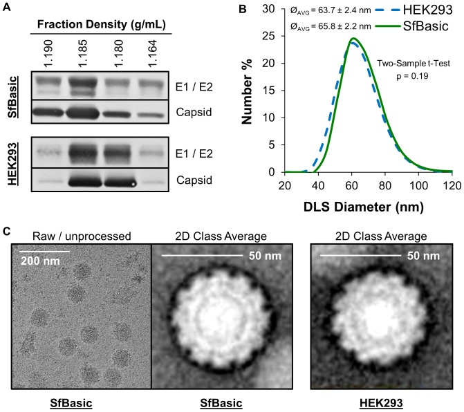 Biophysical characterization of CHIKV VLPs derived from SfBasic cells and comparison to a VLP standard derived from HEK293 cells. ( A ) Western blot of density gradient ultracentrifugation fractions containing CHIKV VLPs, using E1, E2, and capsid peptide-specific antibodies. ( B ) Dynamic light scattering (DLS) distribution of purified CHIKV VLP diameters (Ø). ( C ) Raw/unprocessed and 2D class average transmission electron microscopy images of purified CHIKV VLPs.