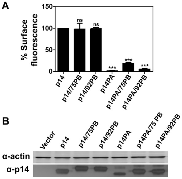 An internal PBM does not alter p14 trafficking to the plasma membrane. (A) QM5 cells transfected with p14-G2A or the indicated p14 mutants in a p14-G2A backbone (see Fig. 1 ) were surface stained at 24 h post-transfection using anti-p14ecto antiserum and Alexa-647 secondary antibody, and analyzed by flow cytometry. Percent cell surface fluorescence relative to p14 are presented as mean ± SEM from three independent experiments in triplicate. Statistical significance by one-way ANNOVA and Tukey post-test is shown relative to p14 (***p