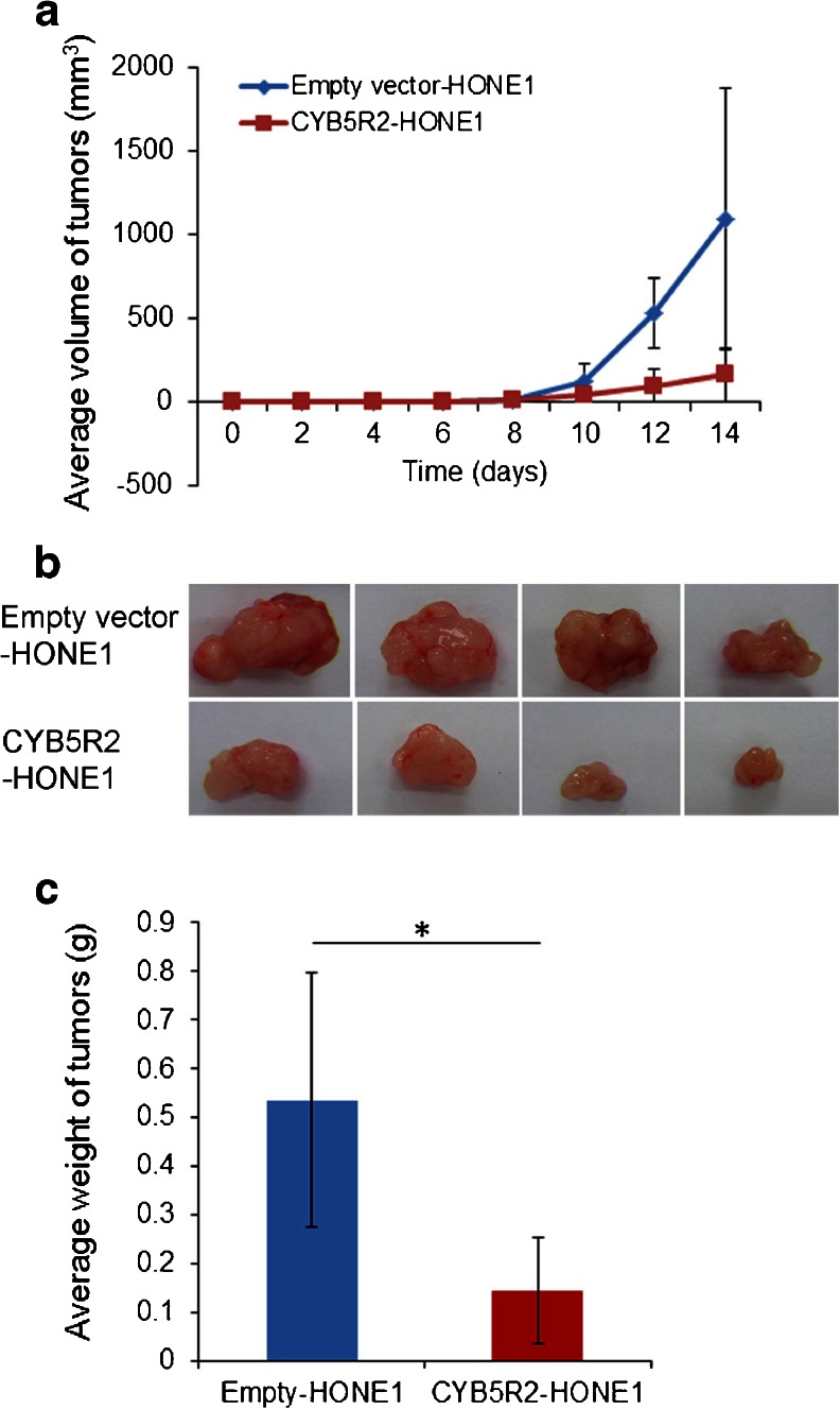 CYB5R2 reexpression reduces tumorigenicity of NPC cells in nude mice. a Growth curves of tumors in nude mice. The mean volume of tumors from CYB5R2 -HONE1 and empty vector-HONE1 cells was evaluated every 2 days after inoculation. Data are mean ± SD ( n = 8). b Representative tumors were removed from the nude mice at day 14 after transplantation. c Mean ± SD weight of tumors ( n = 8). * P