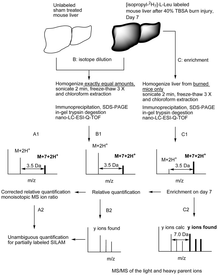 Schematic overview of the experimental workflow for partial metabolic labeling. Mice with full-thickness burn injury and sham-treated controls were maintained on diets containing (isopropyl- 2 H 7 ) or natural L-Leu for 7 days. Liver tissue from the 2 groups of animals (n=3) were harvested and homogenized on Day 7. The homogenates were sonicated and subjected to 3 freeze-thaw cycles. Hydrophobic components were removed by chloroform extraction. A: corrected relative quantification for partially labeled SILAM. The intensity of unlabeled parent ion from burned animals (obtained by enrichment C1) was subtracted from the MS ion intensity of the corresponding light peptide after mixing the tissue samples. Unambiguous characterizations of partially metabolically labeled liver Akt1/PKBα were achieved with the isotope dilution method and MS/MS sequence information (A2, B2 and C2). B: relative quantification of liver Akt1/PKBα after burn injury. A mixture of the exact amounts (2 g each, isotope dilution) of liver from burned (heavy isotope labeled) and sham-treated (light isotope labeled) mice was homogenized and immunoprecipitated. The free cysteine residues were acetylated with iodoacetyl-LC-biotin at room temperature for 15 min followed by quenching with 2-mercaptoethanol. The beads were then heated at 95°C for 5 min and kept at room temperature for 30 min prior to SDS-PAGE. Biotinylated peptides, including the kinase loop peptide 290 ITDFGLCK 297 , were captured with immobilized monomeric avidin beads. The control peptide, 252 FYGAEIVSALDYLHSEK 268 located just outside of the kinase loop (for assessment of kinase protein level after injury) was obtained from supernatant (B1). Unambiguous confirmations of the peptides and the expected labelings were obtained from singly charged y ions (B2). C: Akt1/PKBα enrichment determination. Akt1/PKBα was immunoprecipitated and free cysteine was biotinylated as described above. Doubly and triply charged tryptic peptides were analyzed with nano-LC interfaced with Q-TOF micro tandem mass spectrometry (C1). Partially labeled parent ions with MS difference of 3.5 Da (doubly charged under ESI) were confirmed via their singly charged heavy y ions with MS difference of 7.0 Da (C2). The monoisotopic parent ion ratio of non-labeled (M+2H + ) and labeled (M+7+2H + ) peptides represents the metabolic labeling efficiency of one instance of (isopropyl- 2 H 7 )-L-Leu incorporation after burn injury. This is an updated proteomic version of classical isotope internal standard characterization.