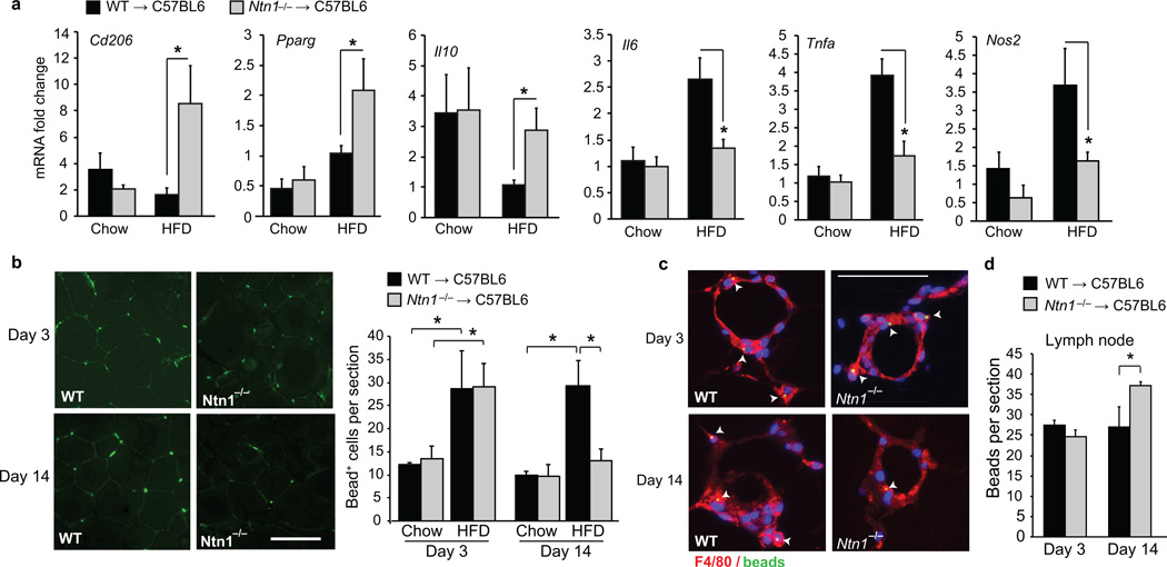 Netrin-1 promotes macrophage retention in adipose tissue during obesity ( a ) qRT-PCR analysis of mRNA for M1 ( Nos2, Tnfa , Il6 ) and M2 ( Cd206, IL10, Pparg ) markers in macrophages isolated from the VAT of mice fed chow ( n = 7) or HFD ( n = 9). (b) Analysis of macrophage recruitment and retention in VAT of mice fed a chow or HFD using a fluorescent bead-tracking model. Left: Representative images of fluorescent bead-labeled cells in VAT of HFD-fed mice at day 3 and 14. Scale bar = 100 µm. Right: Mean number of bead-labeled macrophages in VAT sections ( n = 5 mice per group). ( c ) F4/80 staining (red) of VAT from HFD-fed mice 3 and 14 days post-labeling showing fluorescent beads (green) in macrophages in crown-like structures. (d) Mean number of beads in mesenteric lymph nodes on days 3 and 14 ( n = 5 mice per group). Data in a, b, and d are the mean ± s.e.m. * P