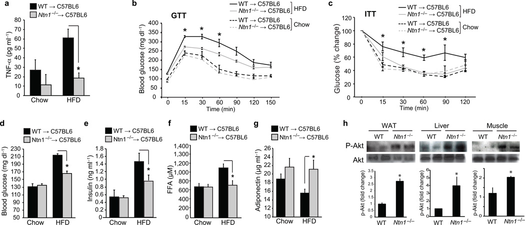 Netrin-1 expression by ATM promotes metabolic dysfunction ( a ) Serum TNFα levels in mice transplanted with WT or Ntn1 −/− bone marrow and fed chow ( n = 5) or HFD ( n = 6) for 20 wk. ( b ) Glucose tolerance test (GTT) and ( c ) Insulin tolerance test (ITT) of mice fed a chow ( n = 7) or HFD ( n = 9). ( d ) Blood glucose levels and plasma levels of ( e ) insulin, (f) free fatty acid (FFA), and ( g ) adiponectin of mice fed a chow ( n = 7) or HFD ( n = 9). (h) Western blot of phosphoAKT (Ser 473) and total AKT in white adipose tissue (WAT), liver and muscle. Quantification of p-Akt/total Akt is shown at bottom (n=4 mice/group). Data in a-g are the mean ± s.e.m. * P