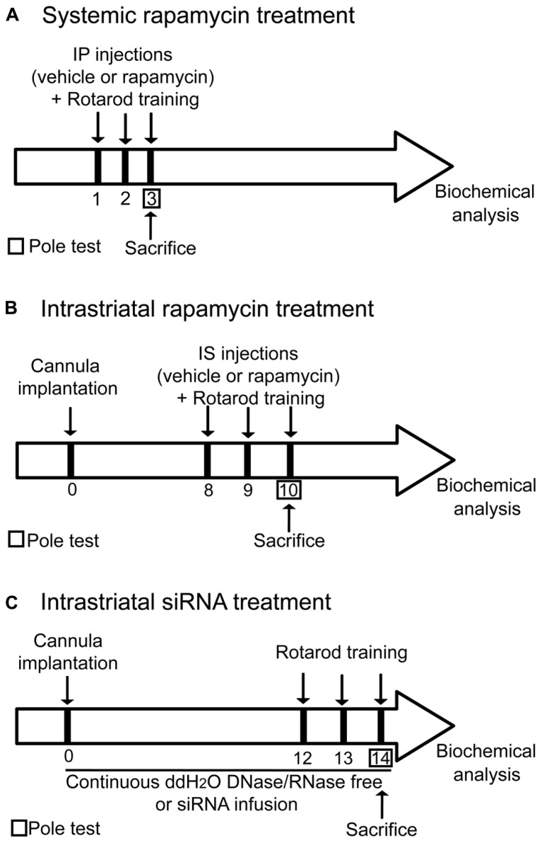 Illustration depicting the experimental design. All animals were subjected to the same handling treatment before the experiments. (A) For systemic treatment, mice were injected systemically with vehicle (DMSO) or rapamycin 15 min prior each rotarod training session. (B) For intrastriatal treatment, a bilateral guide cannula was implanted in the dorsal striatum of mice. After the surgery, seven days of recovery were given to the mice before starting the experiments. 15 min prior the first trial of each rotarod training days, injection of vehicle (DMSO) or rapamycin was delivered into the dorsal striatum of both hemispheres. (C) For intrastriatal siRNA infusion, a bilateral connector cannula was installed into the dorsal striatum. Two osmotic mini-pumps were surgically placed subcutaneously on each side of the scapulae and connected to the cannula via a plastic connector. Mice were receiving for 14 consecutive days a continuous intrastriatal infusion with either distillated/deionized water DNase/RNase free or mTOR siRNA. Mice were trained on the rotarod on the 12th, 13th, and 14th days of treatment.