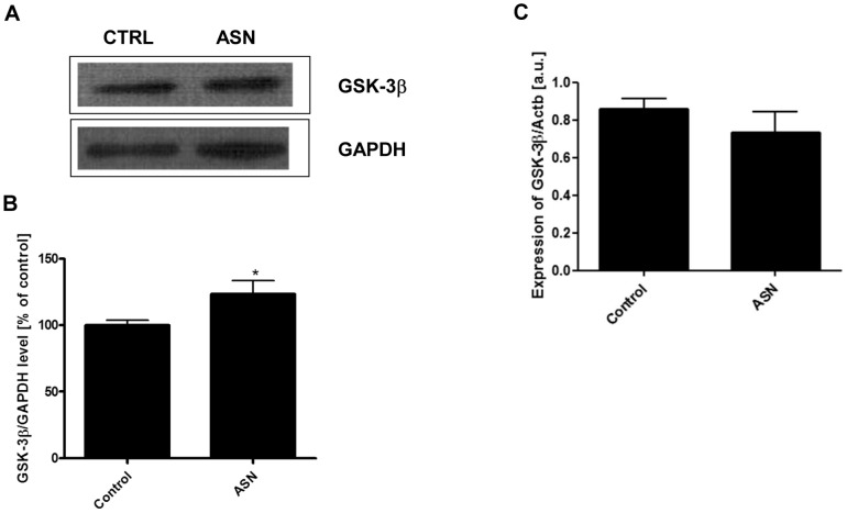 The effect of ASN on the protein level and gene expression for GSK-3β. PC12 cells were incubated in the presence of 10 μM ASN for 48 h. The total level of GSK-3β was determined using Western blot analysis. ( A ) Immunoreactivity of GSK-3β and GAPDH protein, which is presented as a loading control. ( B ) Densitometric analysis of GSK-3β immunoreactivity. Results were normalized to GAPDH levels. ( C ) The gene expression for total GSK-3β was measured with real-time PCR. Data represent the mean value ± S.E.M. for 5 independent experiments. * p