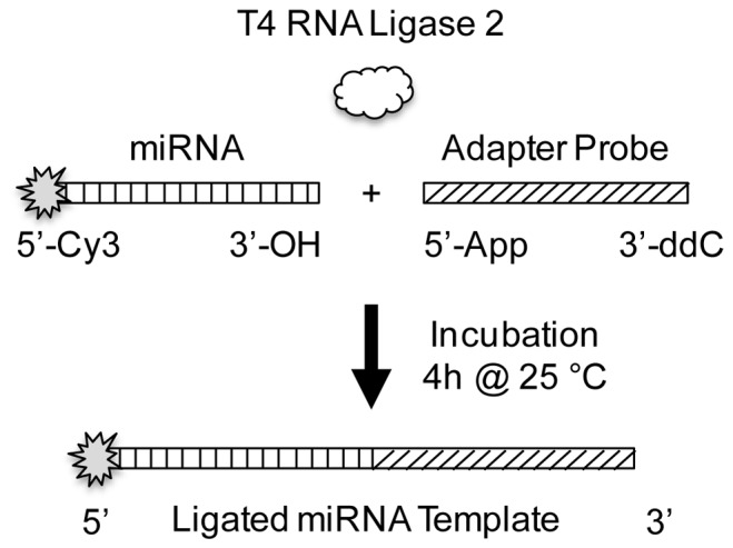 Schematic illustration of microRNA capture by 3′ adapter ligation. The 19 nt, enzymatically pre-adenlyated adapter is ligated to the 3′ OH of microRNA using T4 RNA ligase 2. The reaction is run at 25°C for 4 hours in the absence of ATP. In order to characterize capture efficiency, the microRNA is end labeled with Cy3. The 3′ end of the adapter is blocked by –ddC, a fluorophore, or other moiety to prevent the formation of concatemers and circularized products.
