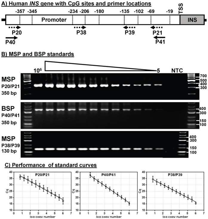 Primer selection and analytical performance of methylation-specific PCR. A) Schematic illustration of the human INS gene promoter region showing the position of the nine CpG sites. Solid arrows represent the bisulfite-specific primers (BSPs) that amplify both methylated and unmethylated DNA. Dashed arrows represent methylation-specific primers (MSPs) that amplify unmethylated DNA only. B) Unmethylated plasmid was serially diluted after bisulfite conversion and analyzed by qMSP using selected primer sets. Agarose gel electrophoresis of MSP reactions showing the size of the PCR products. C) Graphs of real-time SYBR Green PCR data showing linearity of C q versus log copy number of unmethylated plasmid (averages and standard deviation (SD)) from 5 to 10 6 copies.