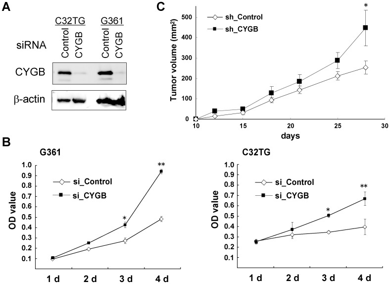 <t>CYGB</t> -knocked down melanoma cells increase proliferation. (A) Immunoblot data for C32TG and G361 cells transfected with CYGB <t>siRNA</t> or control siRNA. β-actin was used as a loading control. (B) Cellular proliferation pattern for G361 and C32TG cells transfected with CYGB siRNA (si_CYGB) and control siRNA (si_Control). The MTT analysis was performed daily (1d to 4d) post-transfection. The value represents the mean from three independent experiments; OD value, 570 nm. bars, SEM. * P