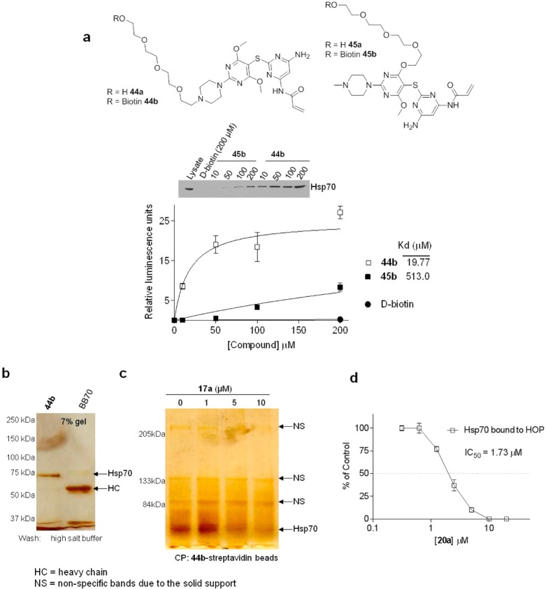 Designed ligands interact specifically with Hsp70 in cancer cells. (a) Streptavidin beads were incubated with the indicated concentrations of 44b , 45b , and d -biotin, the unbound agent was washed off, and the resulting beads carrying 44b , 45b , or d -biotin were probed with SKBr3 cell extracts (500 μg). Hsp70 isolated on the beads was probed by Western blot (WB). A representative blot is presented (top). Blots were quantified by densitometry and values, in relative luminescence units, graphed against the concentration of added biotinylated Hsp70 inhibitor (bottom). Results from three independent experiments were graphed to determine the relative binding affinity ( K d ) of 44b and 45b using equations as implemented in the GraphPad Prism software. Key: points, mean; bars, SD. (b) Cells were treated with the indicated concentrations of 44b for 6 h prior to lysing and precipitation of protein complexes on streptavidin beads. Beads were washed with high-salt (1 M NaCl) buffer before elution of proteins on a denaturing gel and silver staining. BB70 is an antibody specific for Hsp70. This antibody also recognizes Grp78 and Grp75, the endoplasmic reticulum and the mitochondrial Hsp70 paralogues, respectively. (c) Protein complexes were isolated as indicated in (b) in cells pretreated with 17a . CP = chemical precipitation. (d) Analysis of the Hsp70–HOP complex. SKBr3 cells were treated for 24 h with vehicle or indicated concentrations of 20a . Upon cell lysing, Hsp70 complexes were isolated with an anti-Hsp70 antibody (IP BB70) and analyzed by WB. Specificity of binding was tested with a control IgG. Gels were quantified by densitometry, values normalized to the control (vehicle only treated cells), and data graphed against the concentration of 20a . Error bars represent the SEM ( n = 2).