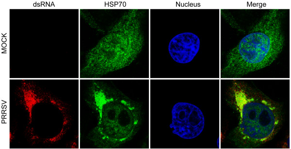 HSP70 colocalized with viral dsRNA in infected MACR-145 cells. MARC-145 cells were mock infected or infected with PRRSV at an MOI of 0.1. Cells were fixed at 24 h.p.i and subjected to IFA to detect dsRNA (red) and HSP70 (green) by using mouse anti-dsRNA (J2) MAb and rabbit anti-HSP70 polyclonal antibody, respectively. Nuclei were stained with Hoechst dye 33258 (blue). The images of cells were acquired with Leica TCS SP5 confocal microscope.