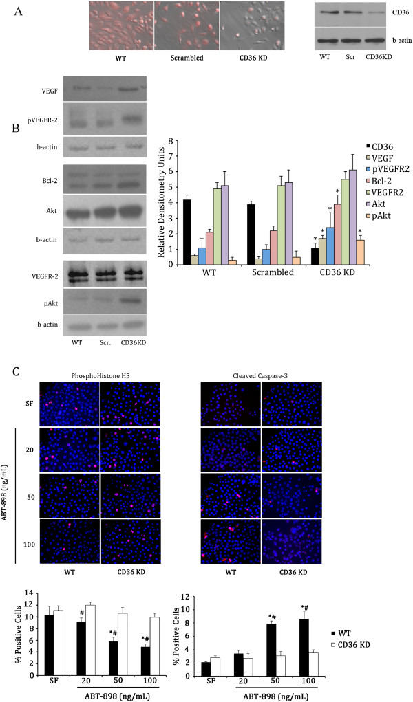 Expression of survival factors and the effects of the TSP-1 mimetic peptide ABT-898 in vitro. A . siRNA inhibition reduced expression of CD36 in spontaneously immortalized rat granulosa cells (SIGC) in vitro, as observed using brightfield/darkfield immunofluorescence overlay and Western blotting. B . Western blotting revealed that CD36 knockdown cells had increased expression of survival factors (VEGF, pVEGFR2, Bcl-2, and pAkt, compared to WT SIGC, or those transfected with a scrambled RNAi sequence. * - denotes statistically different (p