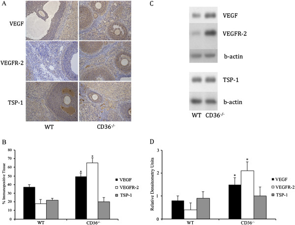 Ovarian expression of VEGF, its receptor VEGFR-2, and TSP-1 in CD36−/− and WT mice. A . Ovaries from CD36−/− and WT mice were immunostained for VEGF, VEGFR-2 and TSP-1. B . Immunohistochemical analysis showed that ovaries from CD36−/− mice had higher (p