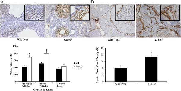 Cell proliferation and blood vessel density in ovaries from CD36−/− and WT mice. A . Immunohistochemistry for Ki67 showed that pre-antral and antral follicles from CD36−/− mice had a significant (p