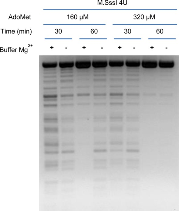 Restriction endonuclease analysis of pUC19 DNA after methylation. DNA was incubated for 30 or 60 min with either 160 or 320 μM AdoMet at a fixed amount of M.SssI DNA methyltransferase in the presence or absence of added MgCl 2 , followed by restriction digestion with HpaII.